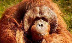 Morre nos EUA o orangotango que se comunicava por linguagem de sinais