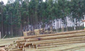 Estudo liga monocultura de eucalipto à falta d'água no semiárido em Minas