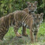 Tigre de zoológico em Nova York tem resultado positivo para o novo coronavírus